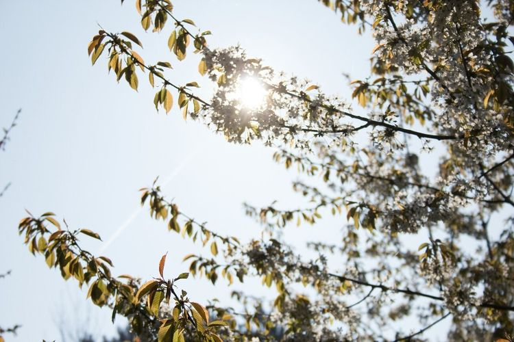 Sun is shining though the leaves Sun Sunrise Sunlight Sunny Shining Shining Through Glow Shining Sun Outdoors Day Sky Beauty In Nature Low Angle View No People Plant Nature Shining Like The Sun Leaves Leaves 🍁 Leaves And Sky Three Spring Spring Leaves First Eyeem Photo EyeEmNewHere The Great Outdoors - 2017 EyeEm Awards