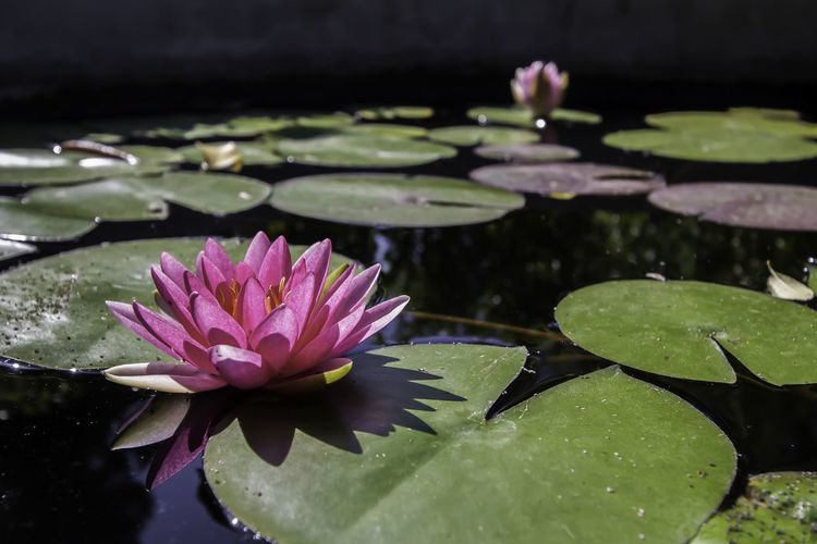Bucharest Beauty In Nature Floating Floating On Water Flower Flower Head Flowering Plant Fragility Freshness Growth Leaf Leaves Lily Lotus Water Lily Nature No People Outdoors Pink Color Plant Plant Part Pond Purity Vulnerability  Water Water Lily