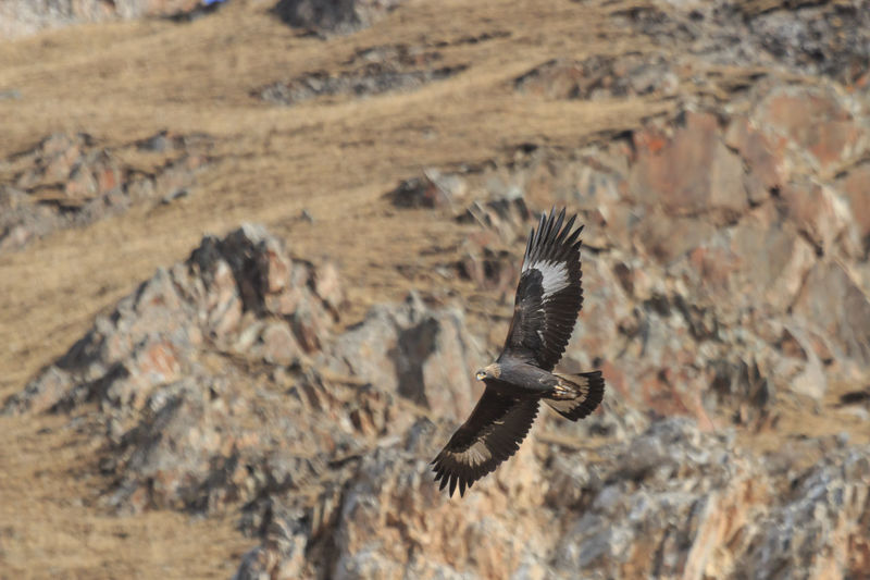 Eagle flying above mountain
