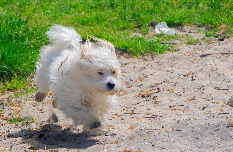 White puppy on field
