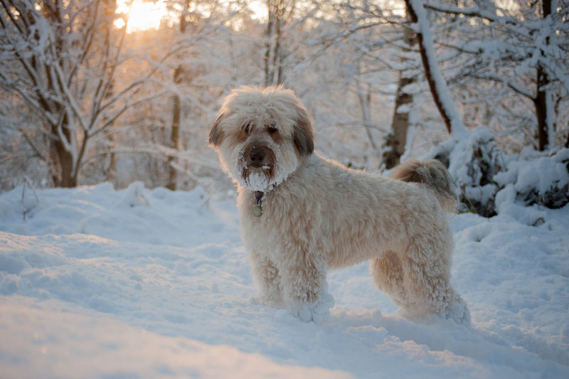 Portrait of dog standing on snow covered field