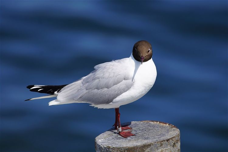 Close-Up Of Black-Headed Gull Perching On Wooden Post In Sea