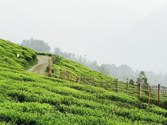 Agriculture Field Nature Green Color Tranquility Beauty In Nature Landscape Growth Outdoors Fog Tea Crop Rural Scene Scenics Day Sky Mountain No People Grass