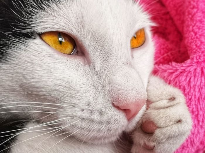 Pets Portrait Beauty Feline Domestic Cat Looking At Camera Friendship Cute Closing Kitten Tabby Cat Yellow Eyes Persian Cat  Animal Eye Cat Ear Nose Ginger Cat Eye Animal Nose Maine Coon Cat