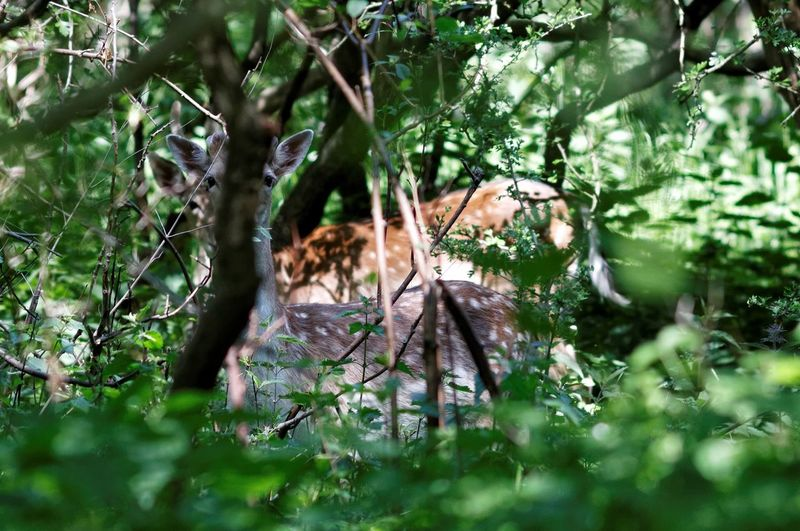 2 Deer Looking At Me Through The Bush Kennemerduinen Focused Dear Oh Dear Deceptively Simple