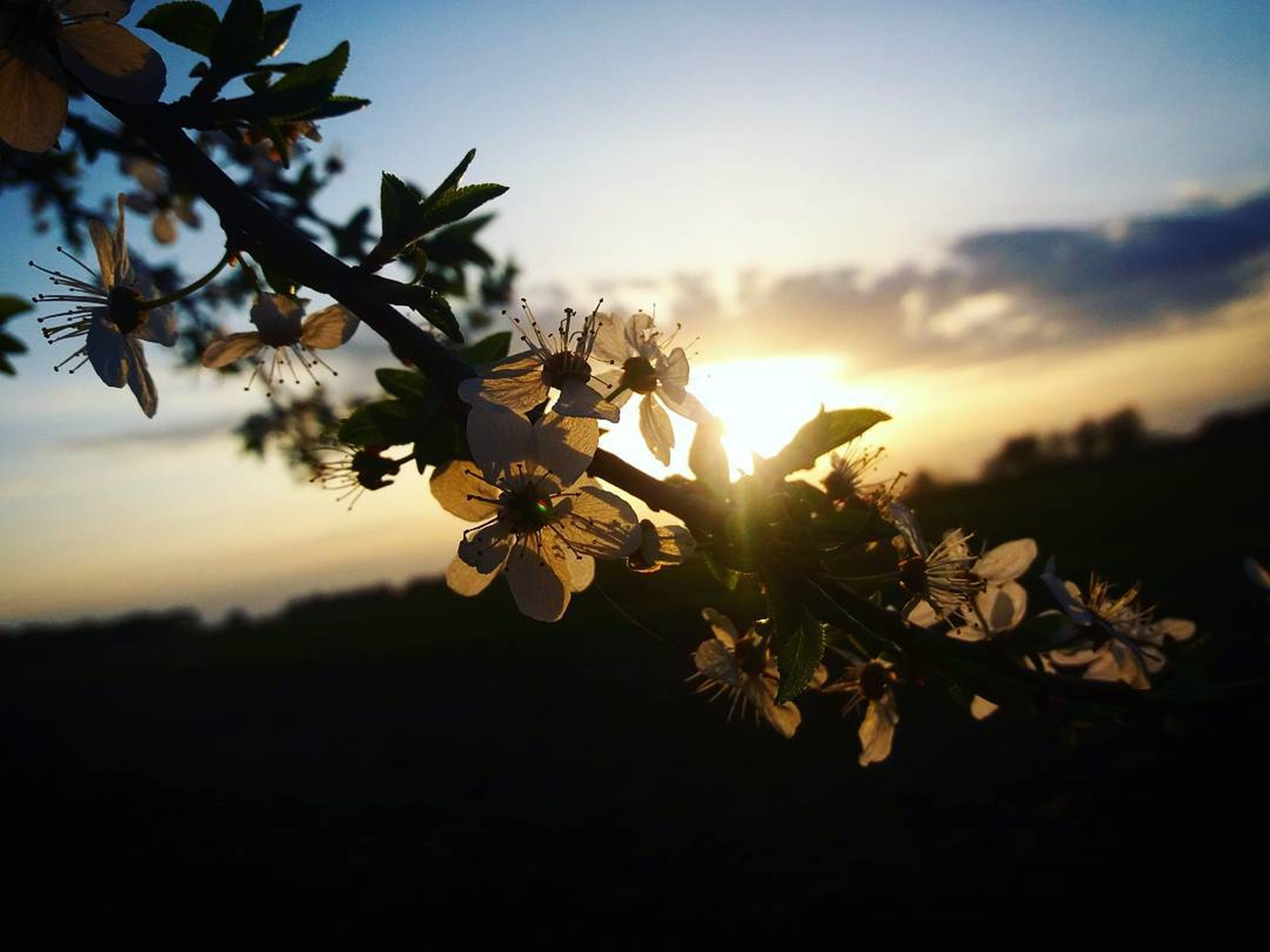 flower, nature, beauty in nature, growth, petal, no people, fragility, sunset, outdoors, sky, close-up, plant, tree, flower head, freshness, branch, blooming, day