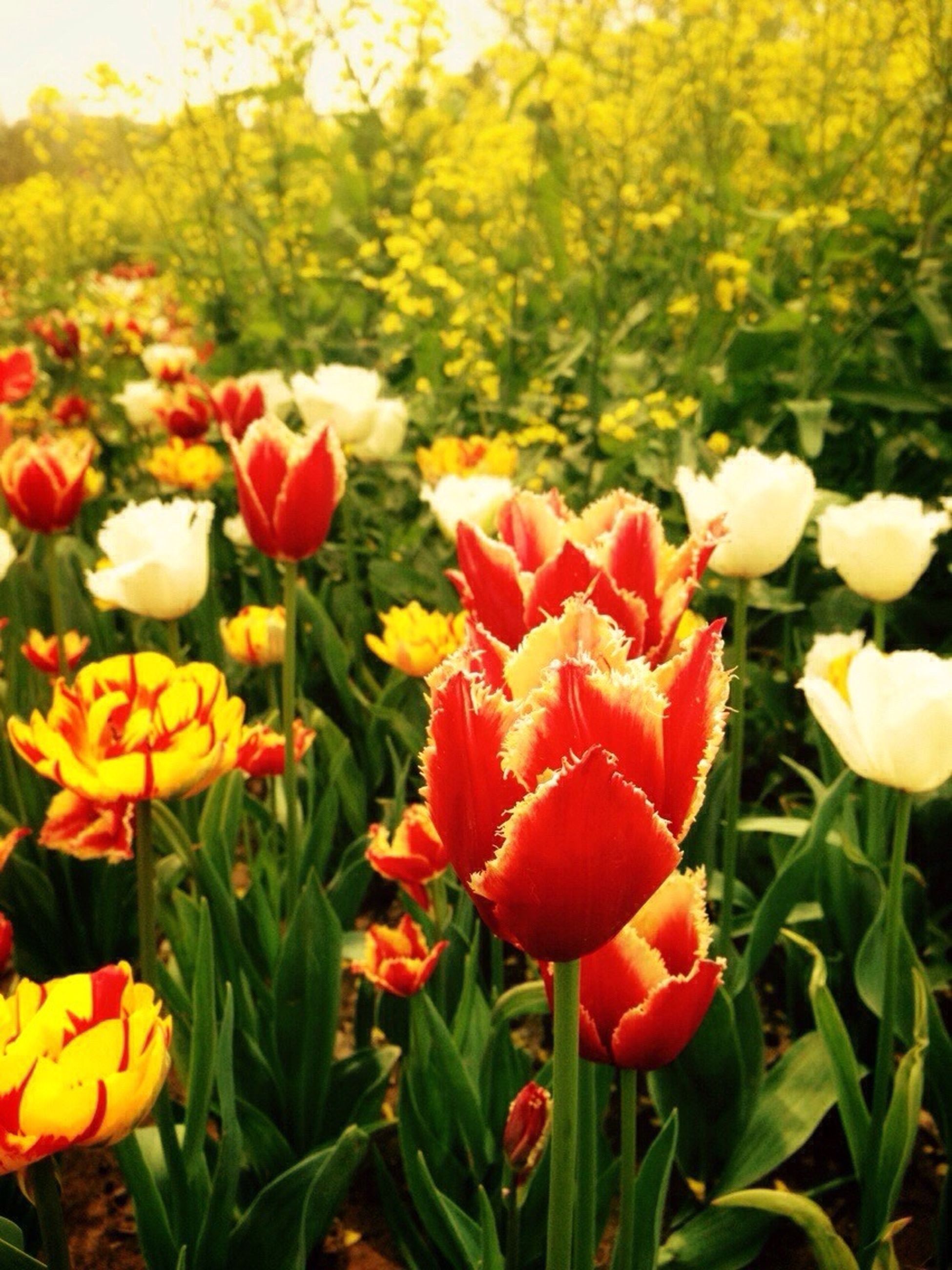 flower, freshness, petal, fragility, flower head, growth, beauty in nature, blooming, tulip, nature, field, plant, in bloom, yellow, focus on foreground, close-up, red, park - man made space, blossom, abundance