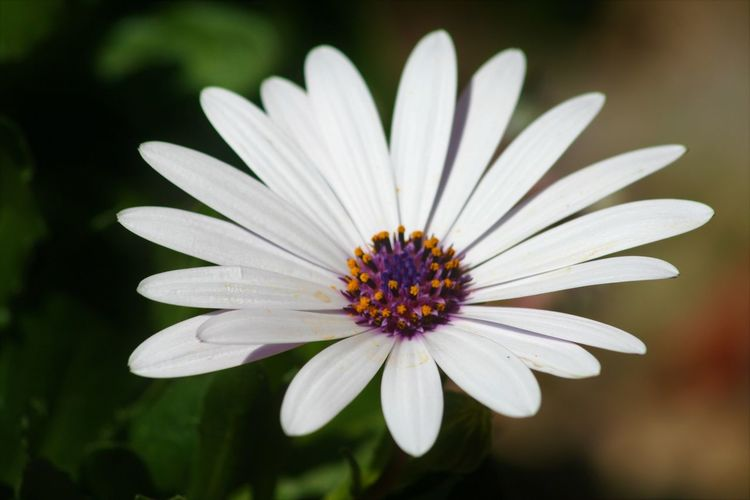 Flower Flowering Plant Freshness Petal Vulnerability  Fragility Plant Inflorescence Flower Head Beauty In Nature Growth Close-up Pollen Nature Focus On Foreground No People Daisy White Color Purple Soft Focus Gazania