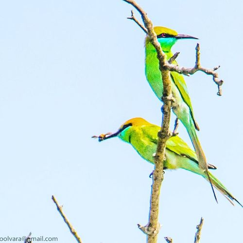 In continuation with my previous post - GREEN BEE-EATER @ Sunderban, West Bengal, India - Feb 2017. - . You cannot get through a single day without having an impact on the world around you. What you do makes a difference, and you have to decide what kind of difference you want to make - Jane Goodall. - Animal Wildlife Animals In The Wild Bird Blue Animal Themes Perching Nature Branch Multi Colored Parrot No People Full Length Side View Nature_collection Landscape_collection EyeEmNatureLover Natgeowild Exclusive_shots Ornithology  Bird Pair Nature Photography Nikon Pair Of Birds Beautiful Birds Green Bee-eater Bird Photography Beauty In Nature
