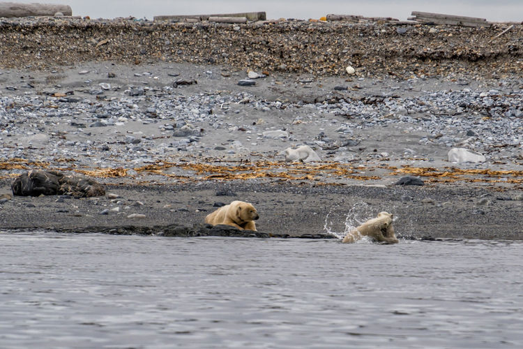 Polar bear mother with youngs playing in the ocean Mammal Animals In The Wild Animal Wildlife Animal Animal Themes Water Bear Group Of Animals No People Vertebrate Day Nature Sea Two Animals Polar Bear Animals Hunting Outdoors Cubs  Ursus Maritimus Spitsbergen Svalbard  Arctic