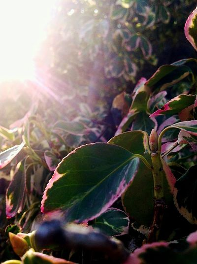 Leaf Sunlight Sunbeam Growth Close-up Sun Nature Freshness Beauty In Nature Sunny Green Color Leaf Vein Bright Fragility Focus On Foreground Pink Color Focused Light And Shadow Violet Iphonephotography Nature Photography EyeEm Gallery EyeEm Best Shots Focus Object Welcome Weekly The City Light Millennial Pink The Great Outdoors - 2017 EyeEm Awards BYOPaper!