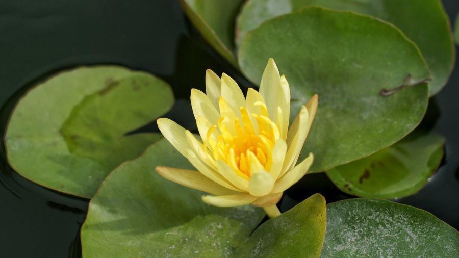 Flowers Flower ดอกไม้ ดอกไม้ (Flower) ดอกบัว บัว บัวหลวง Thai Thailand Thailandtravel Yellow Flower Yellow