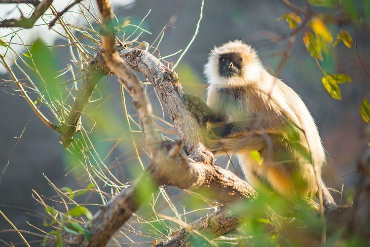 True Blackface - Indian Langur Monkey Sonyimages Sonyalpha A7s Travelportrait Traveladdict Travelindia Langur Jaipur Natgeotravel Wildlife Monkey Travelphotography KonicaMinolta Animalphotography Primates Day