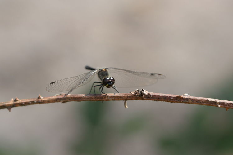 Close-up of damselfly on twig
