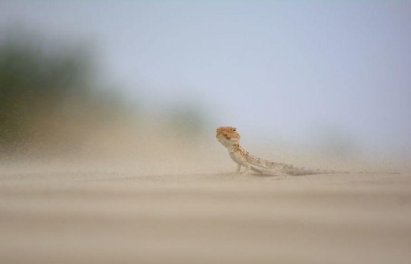Oman Desert Storm Sand Sand_storm Reptile Confined Space Camouflage Portrait Animal Skin Lizard Sand Dune