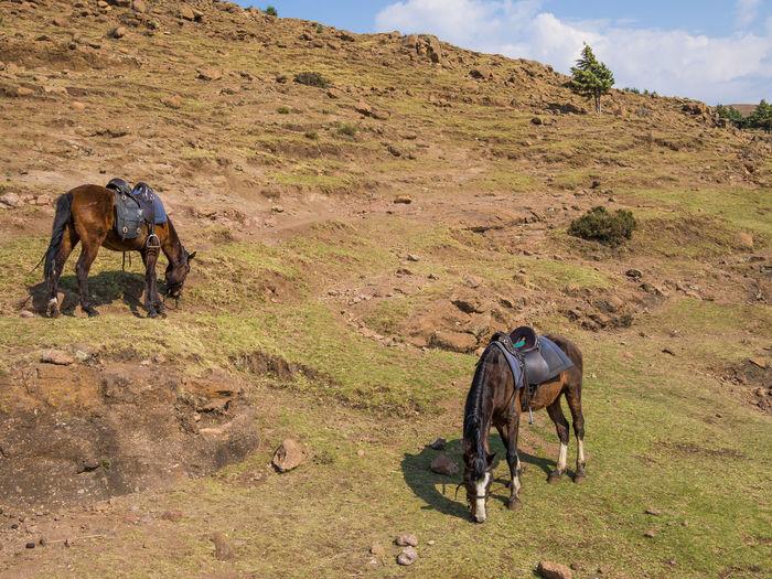 Two basotho horses on field against mountain, lesotho, africa