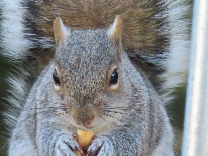Closeup of a squirrel eating a peanut 🥜 rodent animal themes EyeEm nature lover Animal Wildlife One Animal Portrait Front View No People