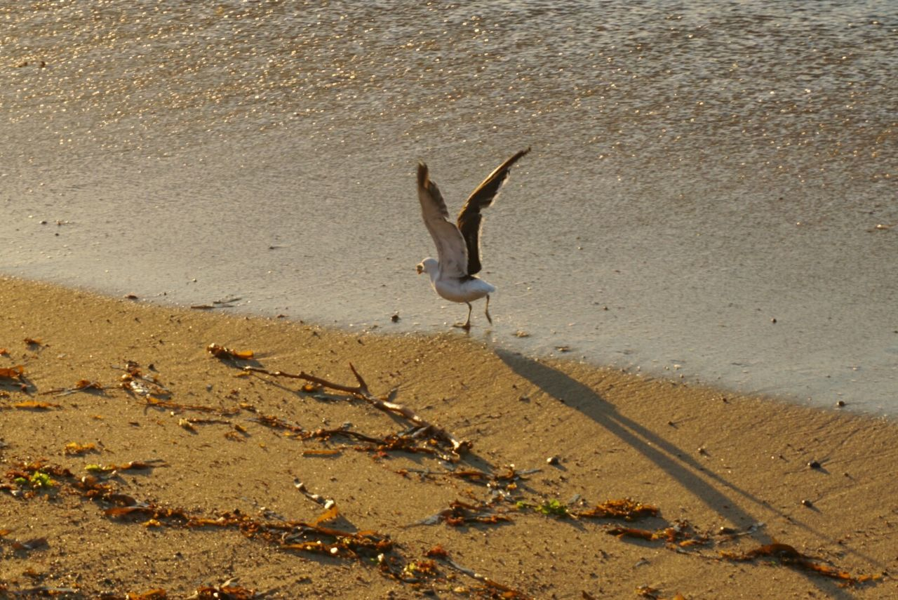 Animals In The Wild Sand Animal Themes Beach One Animal Animal Wildlife Nature No People Outdoors Sea Day Mammal Bird SEAGULL IN FLIGHT Seagull In Focus