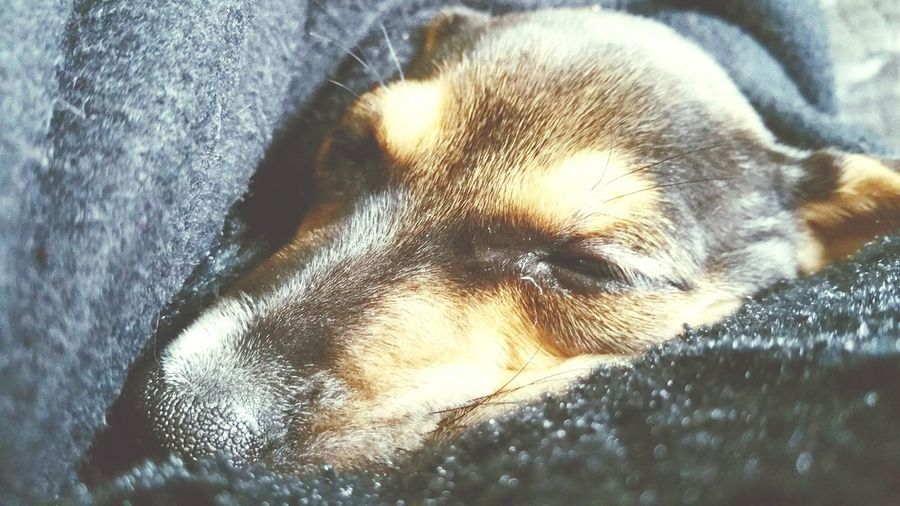 """New Edition """"mini"""" our new family member. ..9 weeks old toy jack Russell"""