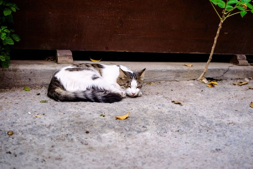 Domestic Cat Domestic Animals Cat Pets Animal Themes Mammal One Animal Feline Lying Down Outdoors No People Nature Day Cute Cyprus Lonely Tourist My Favorite Picture  The Week Of Eyeem Cute Pets Cute Cats Sleeping Sleepy Animals Traveling