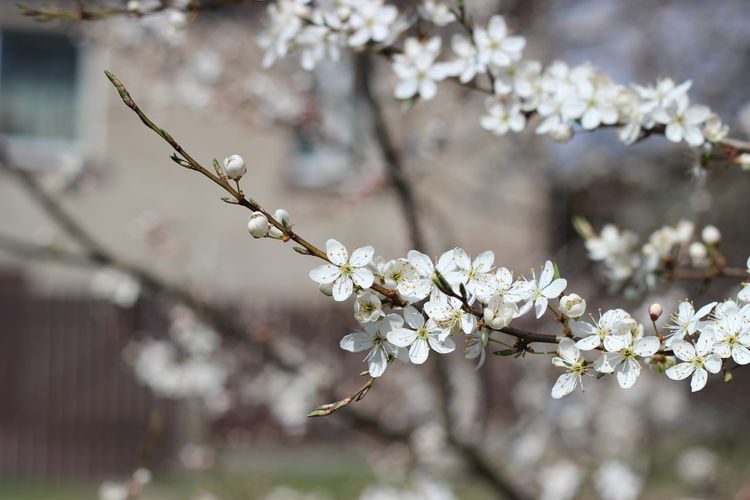 Blossom Cherry Blossom Cherry Tree Close-up Flower Focus On Foreground Freshness In Bloom Nature Selective Focus Springtime White Color