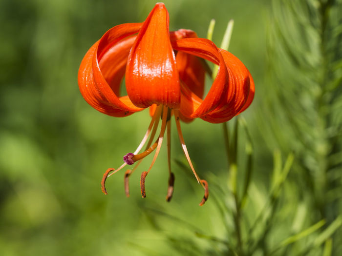 Blume Lily Martagon Lily Anthers Anthers And Pollen Beauty In Nature Blooming Blooming Flower Blumenpracht🌺🍃 Close-up Flower Flower Head Flowering Plant Focus On Foreground Green Background Lilium Martagon Nature No People Outdoors Plant Red Flower Selective Focus