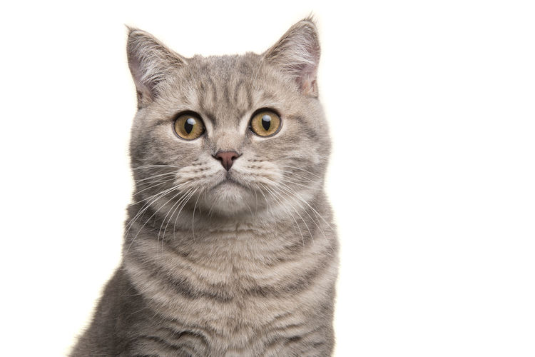 Close-up portrait of a cat against white background