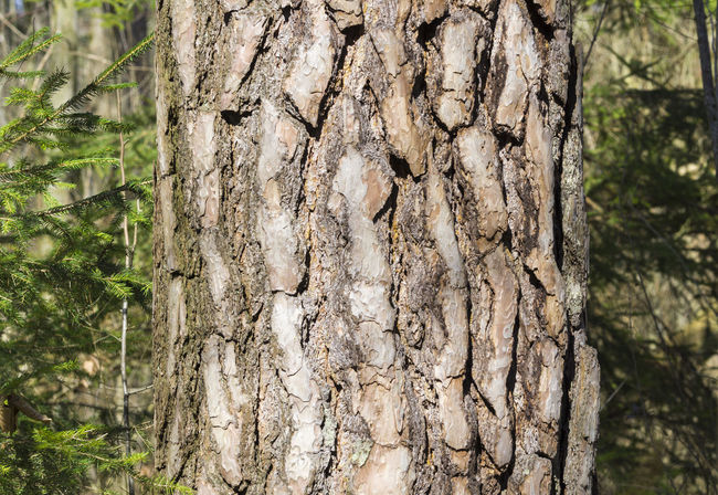 Close-up of an old Black Pine Tree in the Forest Wood Timber Lumber Industry Bark Black Pine Tree Growth Nature Pine Sunlight Tranquility Tree Tree Bark Trees Black Pine Botanic Close-up Closeup Forest Idyllic Pine Tree Season  Spring