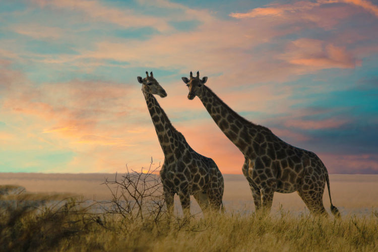 Giraffe standing on field against sky during sunset