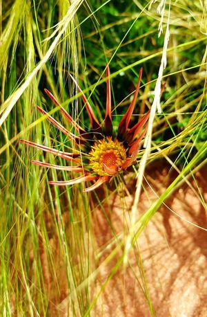 Suculant Succulents Flowers Sun Light Flower In The Sun Sober Days
