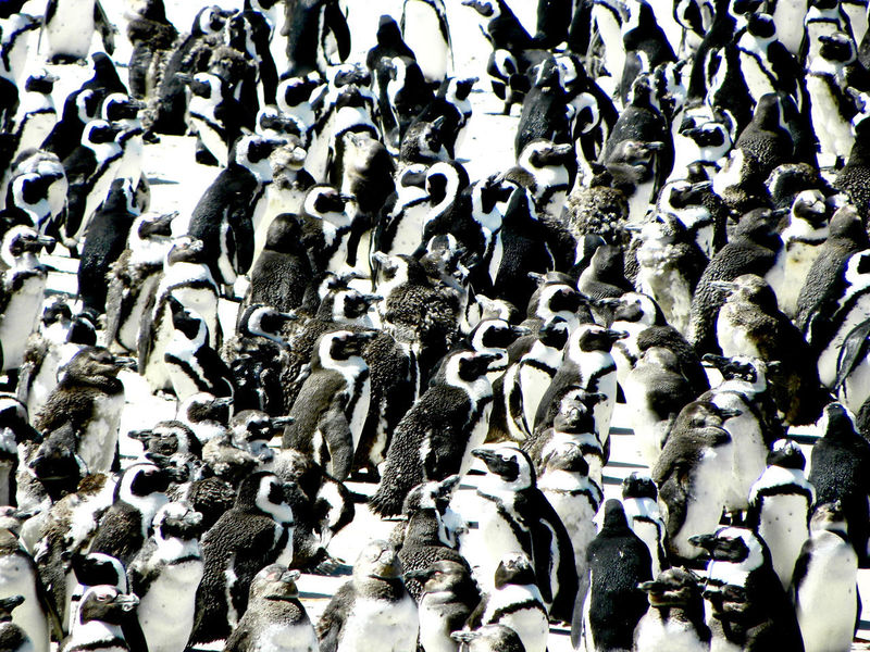 Pinguins  South Africa Tourist Attraction  Abundance Backgrounds Black Color Close-up Day Full Frame Group Of Animals High Angle View Large Group Of Objects Nature No People Outdoors Tourism