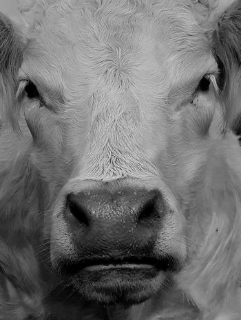 Cow Portrait Human Face Looking At Camera Nose Close-up