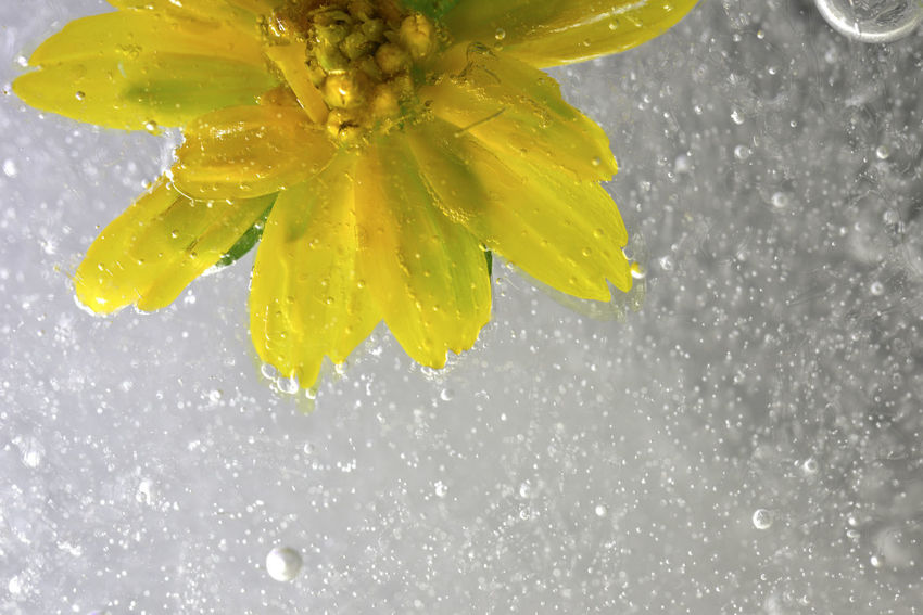 Frozen water, bubbles and plants freeze up. Frozen Ice Water Drops Background Beauty In Nature Bubble Close-up Cold Temperature Day Drop Flower Flower Head Food And Drink Fragility Freeze Freshness Imagery Nature No People Outdoors Petal Water Wet Yellow Zero Degrees