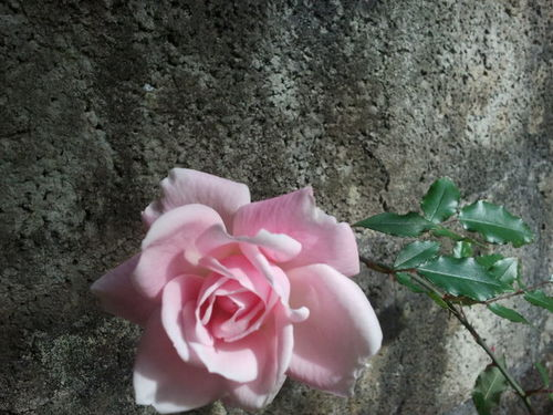 Roses Pink Wall Pink Flower
