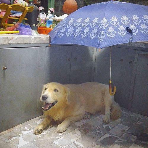 ฝนจะตกป่าวน้า Dog Pet Pet13 Goldenretriever Buddy