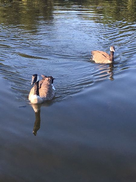 Gallup Park Pure Michigan Huron River Canada Geese Birds Beautiful Give Us Your Food