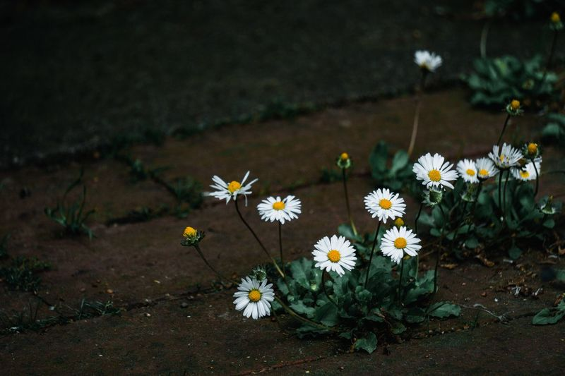 My Best Photo EyeEm Best Shots EyeEm Gallery EyeEm Nature Lover EyeEm Selects Flower Flowering Plant Freshness Fragility Vulnerability  Plant Growth Beauty In Nature Nature No People High Angle View Daisy Petal Flower Head Land Day Inflorescence Field White Color Outdoors