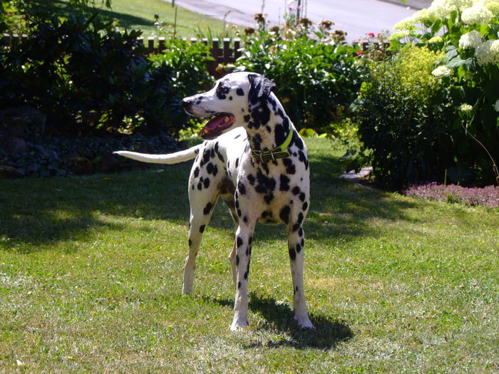 Dalmatian Animal Animal Themes Canine Dalmatian Dog Dalmation Day Dog Domestic Domestic Animals Grass Healhy Dog Looking Mammal Nature No People One Animal Pets Plant Spotted Standing Tree Vertebrate