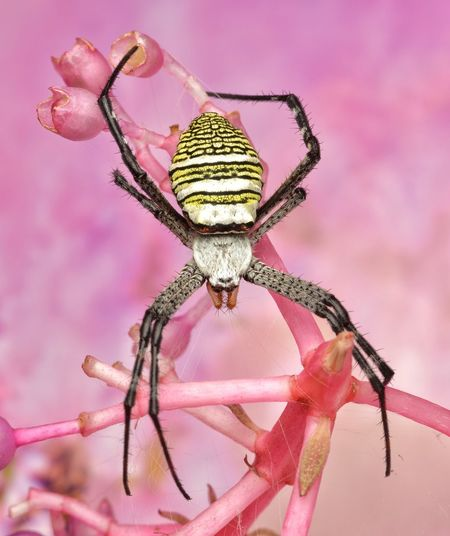 Argiope aemula spider Yellow Black Stripes Stripes Abdomen Argiope Aemula Spider Macro_collection Predator Macro Beauty Arachnid Malaysian Wildlife Macro Nature EyeEm Selects Pink Color Animal Close-up Insect Animal Wildlife Animal Themes No People Arthropod One Animal Invertebrate Animals In The Wild Focus On Foreground Pink Background Spider Nature Single Object Zoology