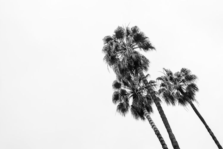 Palm trees 🌴🌴🌴 Black & White Clear Sky Warm Weather Tropical Plants Tropical Climate Mediterranean  Barcelona Three Objects Three Minimalobsession Minimalism TreePorn Monochrome Blackandwhite Lookup Looking Up Palm Tree Tree Low Angle View Clear Sky Copy Space No People Day Nature Growth Sky Outdoors Tree Trunk Beauty In Nature White Background