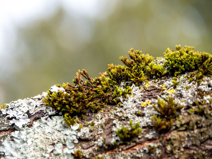 Selective Focus Moss Close-up Plant Growth No People Lichen Nature Rock - Object Rock Outdoors Day Tree Solid Textured  Tree Trunk Beauty In Nature Focus On Foreground Green Color Trunk
