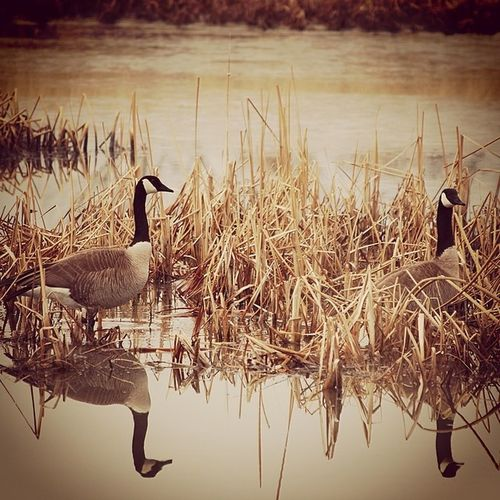 Nature Landscape Utah Utahgram utahgramer ig_utah water westernlandscape wildlife winter reflection instagood awesome