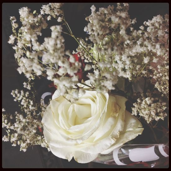 Shy Love White Rose Peace