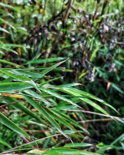 Water Frond