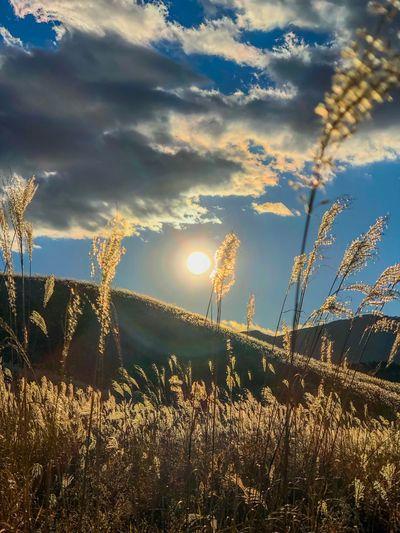 風にゆらゆら。That is shaking from the wind. Pampas Grass Backlight Sunset Silhouettes Sunset Sunlight Sun Sunbeam Nature Beauty In Nature Sky No People Tranquility Day Tree Cloud - Sky Scenics Sunset Outdoors Tranquil Scene Growth Grass