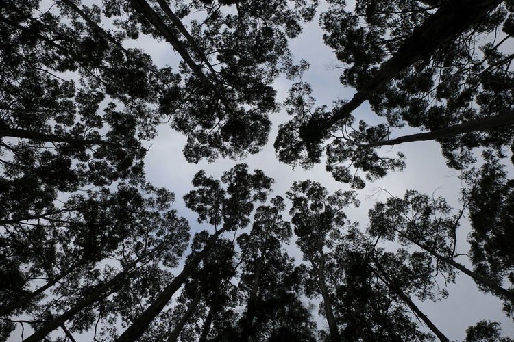 Karri Trees Forest Canopy Tree Low Angle View Tranquility Growth Trunk Tree Canopy  Directly Below Idyllic Beauty In Nature Pattern Blue