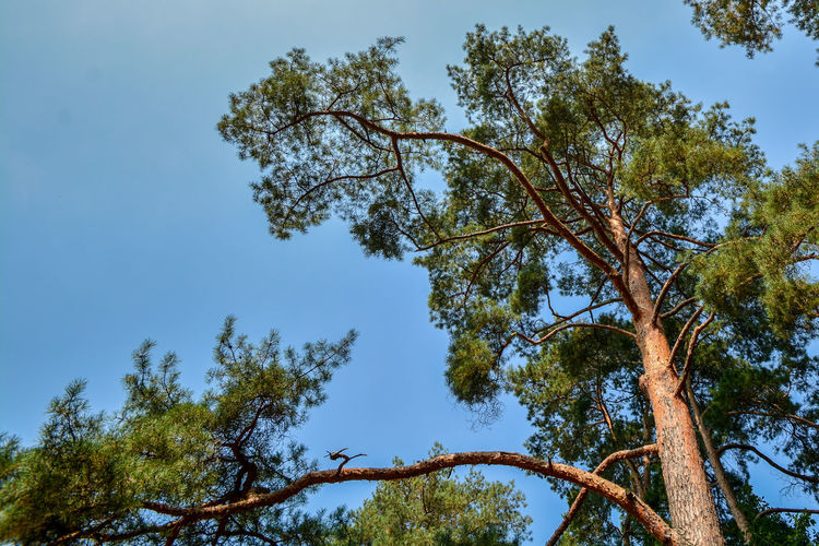 Tree from below with clear blue sky in the background. Beauty In Nature Branch Clear Sky Day Forest Growth Low Angle View Nature No People Outdoors Sky Tree Tree Trunk
