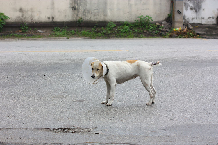 Side view of dog with cone around neck standing on road