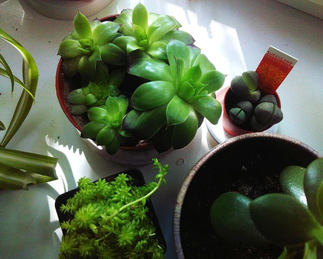 🍀Succulents Freshness Green Leaves Green Color Leaf Close-up Flower Head Indoors  Succulentlove