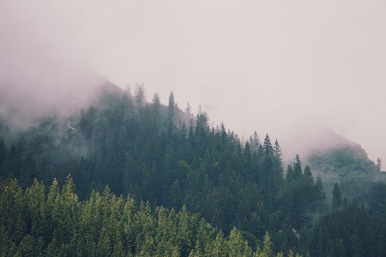 foggy forest Scenics Scenery Landscape Nature EyeEm Selects Tree Tree Area Mountain Forest Fog Rural Scene Winter Pine Tree Pinaceae Sky Coniferous Tree Treetop Needle - Plant Part Pine Woodland Pine Woodland Mountain Peak Spruce Tree Pine Wood